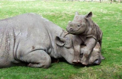baby rhino on mom