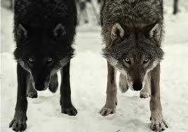 WolfImage