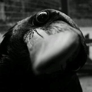 CrowLookatMe